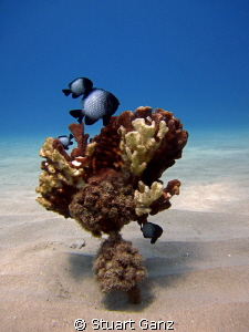 Hawaiian Domino Damselfish by Stuart Ganz 